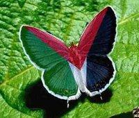 murad-butterfly